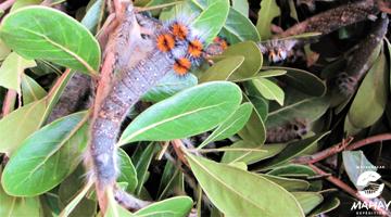 le vers à soie sauvage de Madagascar