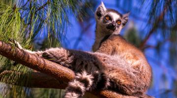 Observation du lémurienn Catta dans l'Andringitra à Madagascar