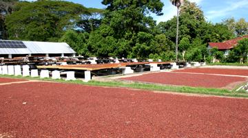 Le séchage des fèves de cacao à Madagascar