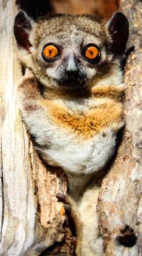 Observation du lémruein nocturne de Madagascar