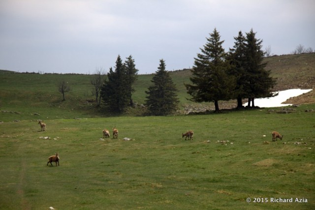 A herd of Bouquetins were playing