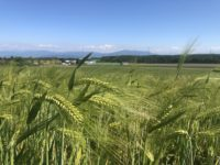 A field of green Barley overlooking the Alps in Switzerland