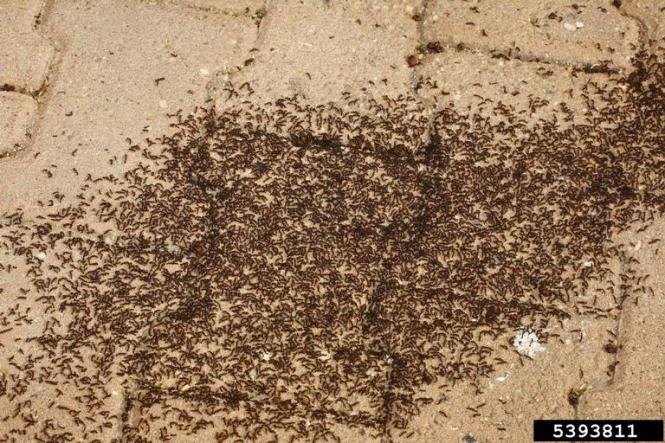 Maine Ant Exterminators South Bed Bugs And Pest Control Ants