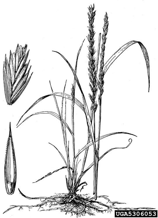 horsetail plant diagram free vehicle wiring diagrams pdf got pests quackgrass infestation flower