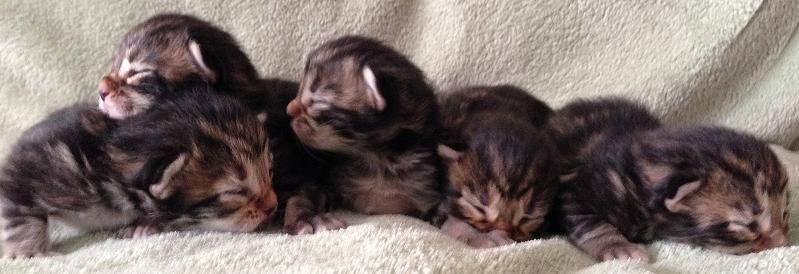 Image result for litter of tabby and black kittens