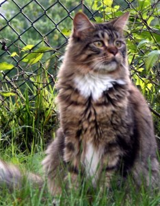 Maine coon growth and weights also fancy rh mainecoonfancy