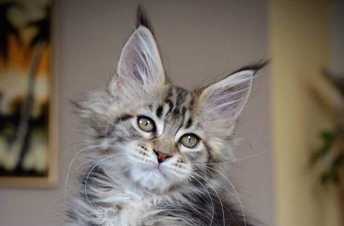 Where to Find Maine Coon Kittens for Sale? - Maine Coon Guide