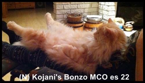 Maine Coon er en rolig katt