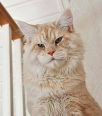 Fifes EMS color codes  Spellbounds Maine Coon Cats