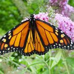 Where Have All the Monarch Butterflies Gone To?