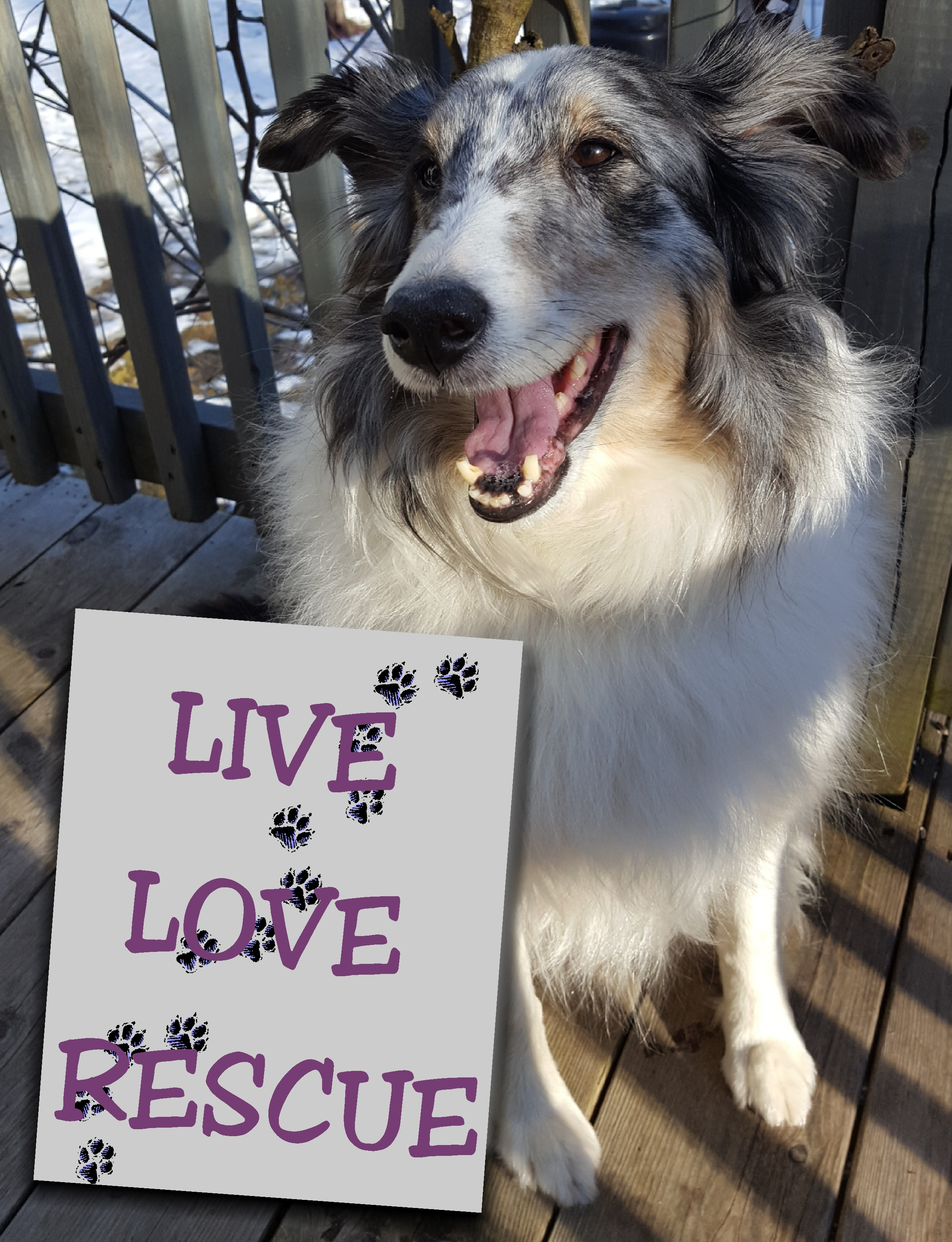 Sheltie Rescue Links | mainesheltierescue org