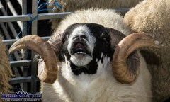 There was something in the air for this ram at the revived Castlemaine Fair on Sunday. ©Photograph: John Reidy