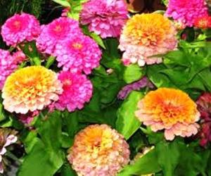 Zinnia flower, fall season annuals
