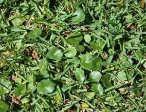 lawn weeds Dollarweed frisco prosper