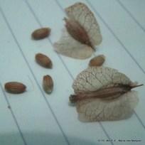Bougainvillea spinosa - Monte negro - MIM - 09