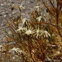Gutierrezia solbrigii (7)