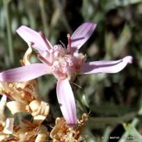 Hyalis argentea Olivillo  DR_ (4)