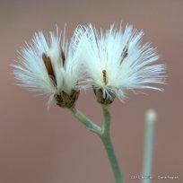 Hyalix argentea