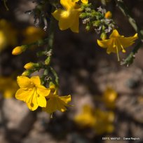 Menodora_robusta (23)