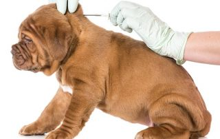 microchipping-dog