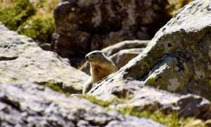 Bergmarmot marmotte des montagnes