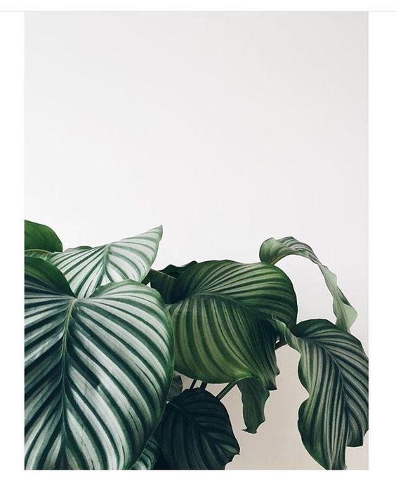 piante d'appartamento-Calathea