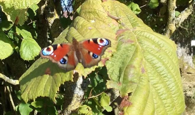 papillon-sgdc