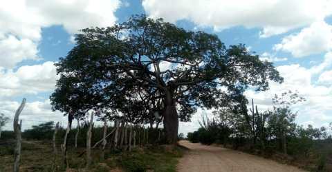 Árvore centenária apelidada de 'Barriguda', no Curimataú
