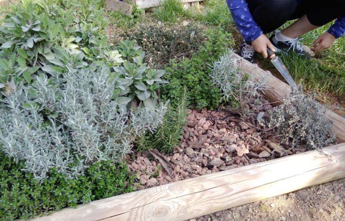 I bambini della 4E della scuola primaria Santa Maria della scala di Chieri curano il giardino delle piante aromatiche