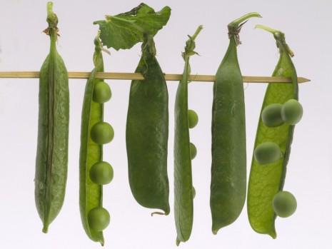 تفسير حلم رؤية نبات البازلاء زرع أكل البازلاء في المنام