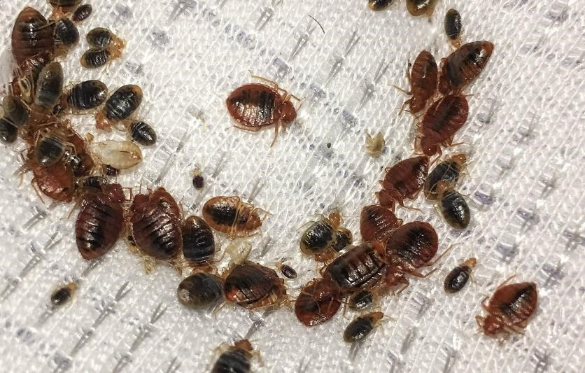 How To Tell If You Have A Bed Bug Infestation