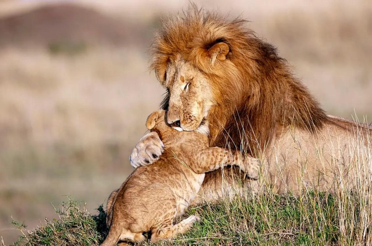 Cute Animals Live Wallpaper Majestic Lion Hugs Cub Adorably Recreating Lion King