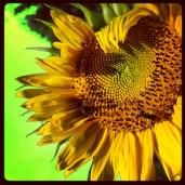 #sunflower #bees