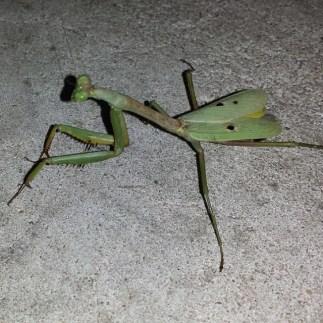 #mantis