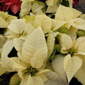#candlelight #white #poinsettia