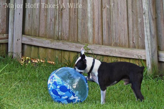 Dogs love to play with big beach balls.