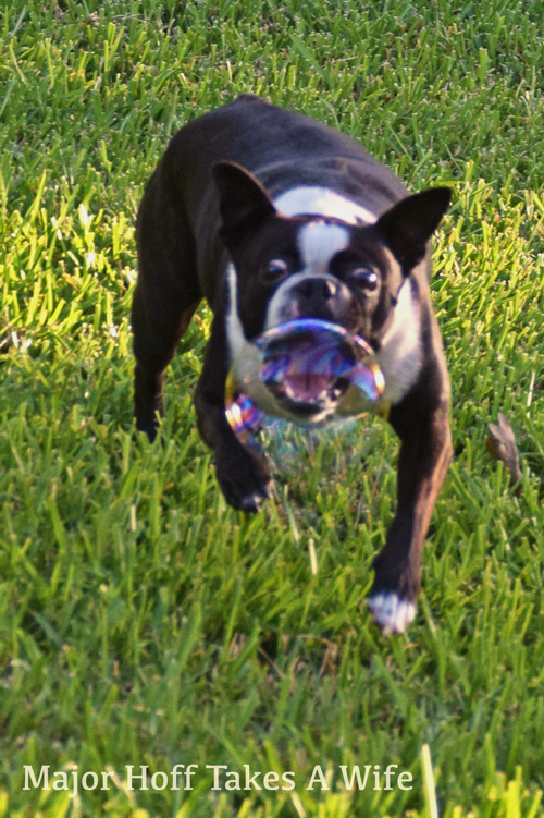 This Boston Terrier loves to chase bubbles