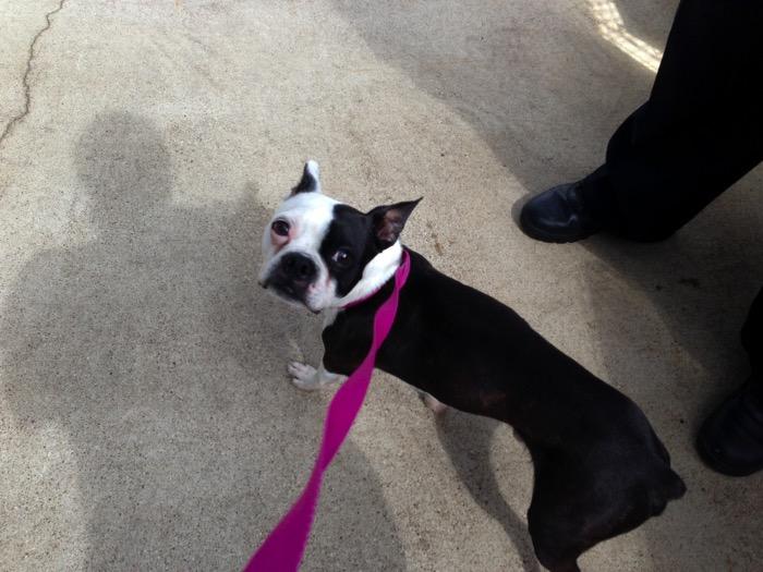 Skinny rescue Boston Terrier