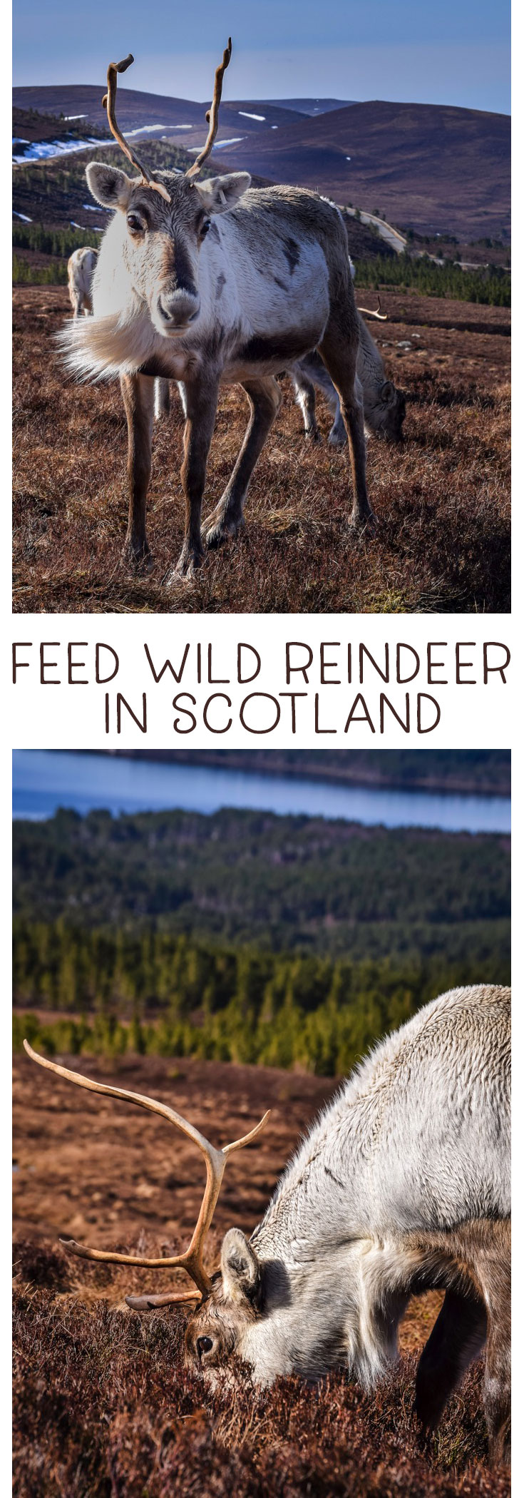 Feed reindeer in Scotland! Learn all about this amazing adventure at the Cairngorm Reindeer Centre in the Cairngorms National Park outside Aviemore. An amazing wildlife encounter that is family friendly! Add to your family adventures and bucket lists!! #Scotland #ThingstodoinScotland #Reindeer #WildEncounters #Cairngorms via @mrsmajorhoff