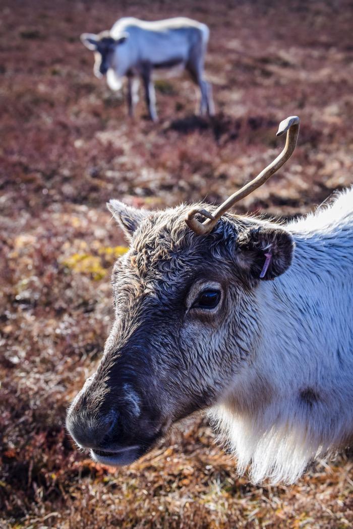 Reindeer in Scotland