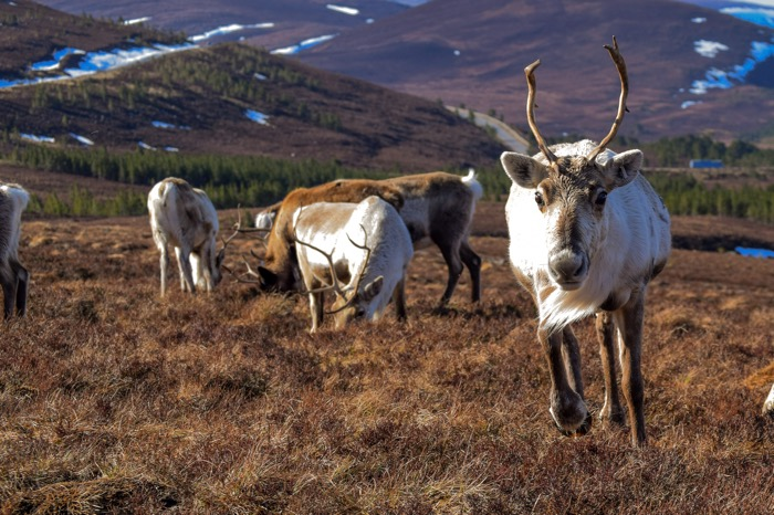 reindeer herd in Scotland at Cairngorm National Park