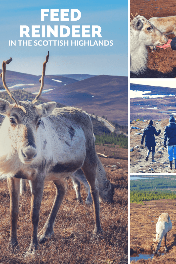 Feed Reindeer in Scotland!