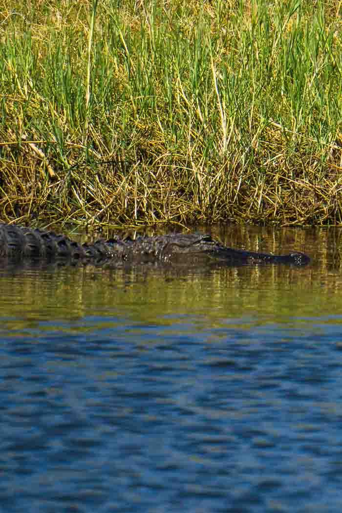 alligator spotting Wild Florida