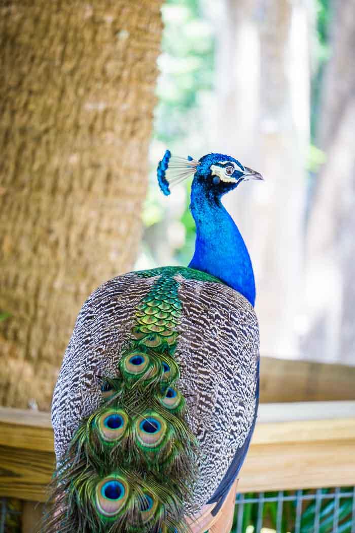 peacocks Wild Florida