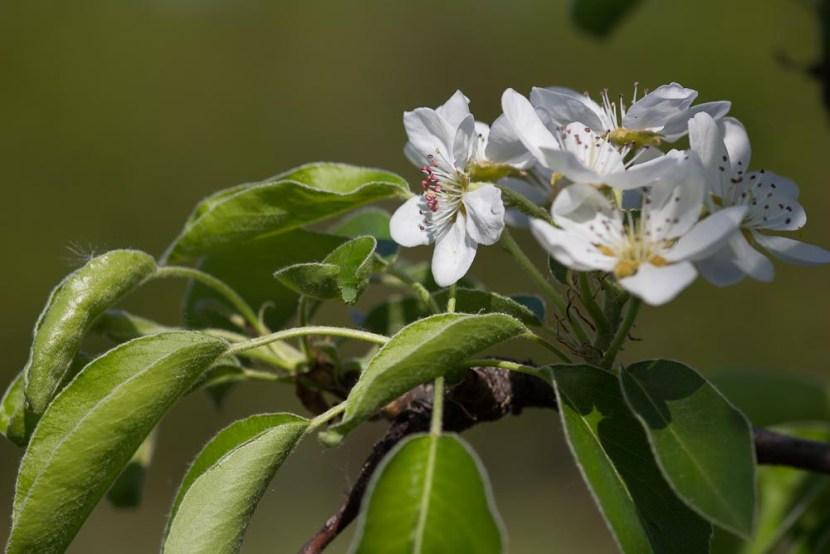 Kwitnąca grusza