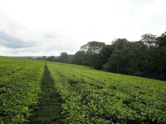 kericho-tea-plantations