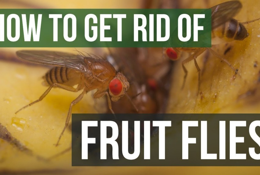 7 Ways To Get Rid Of Fruit Flies In Your House Makao Bora