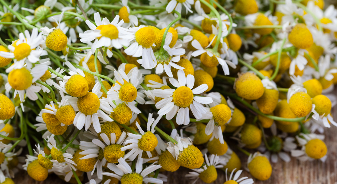 camomile-essential-oil