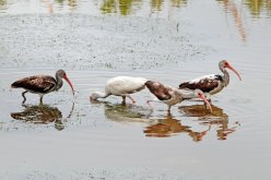 White Ibis. Juveniles of this species are mottled brown-white, becoming fully white as adults.