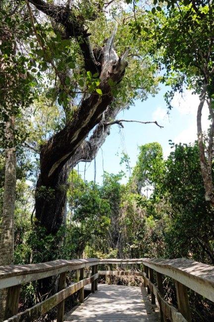 Mahogany tree along the boardwalk.